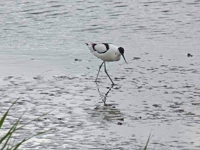 Avocet bird image