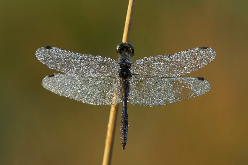 Black Darter - Christophe Brochard