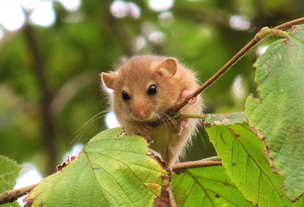 Dormouse image