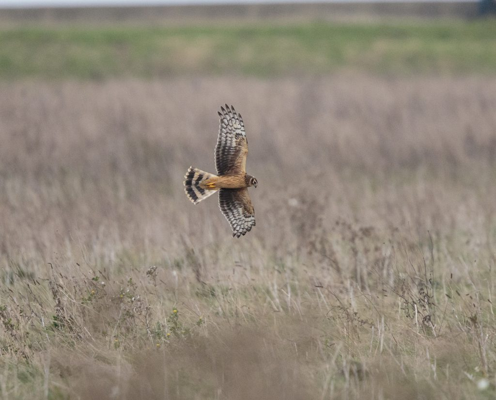 Hen Harrier image