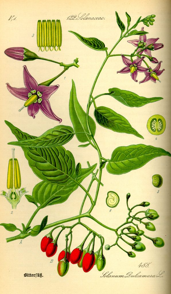Illustration_Solanum_dulcamara