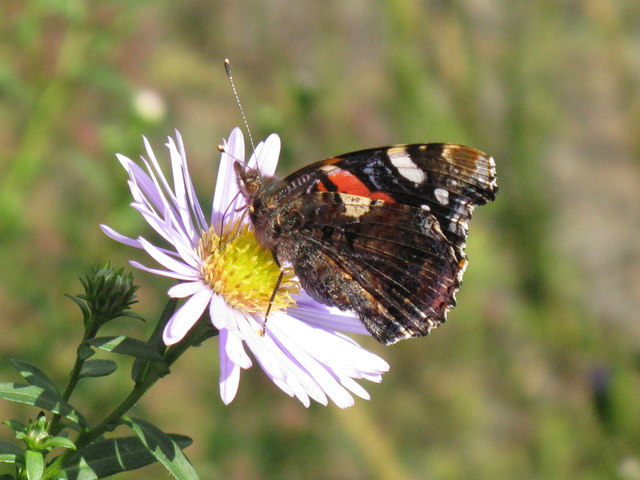 Red Admiral image