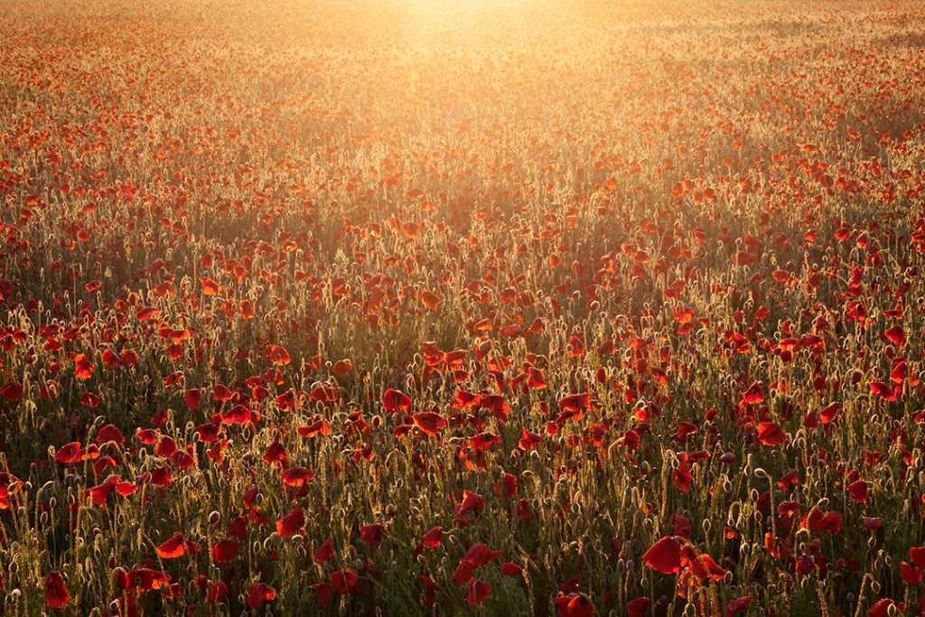 Digital print of a field of red poppies
