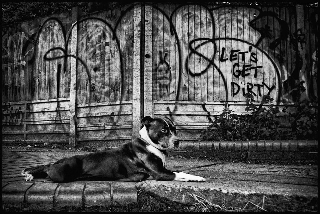 Black and white digital print of dog laying in front of a graffiti fence