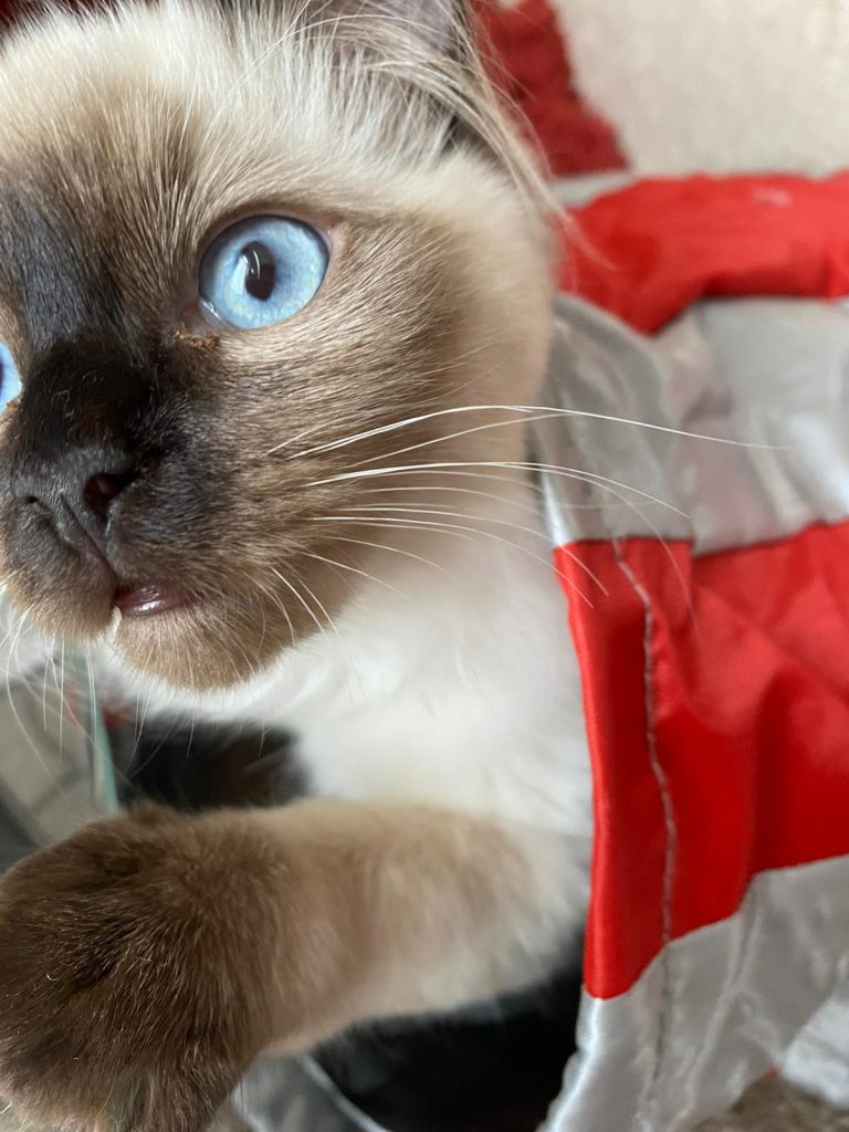 Photograph of a cat with bright blue eyes.