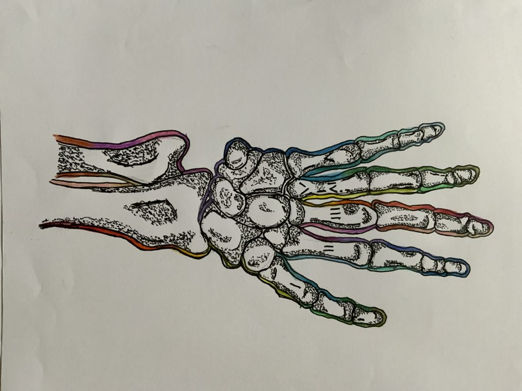 Drawing of the bones in the hand.